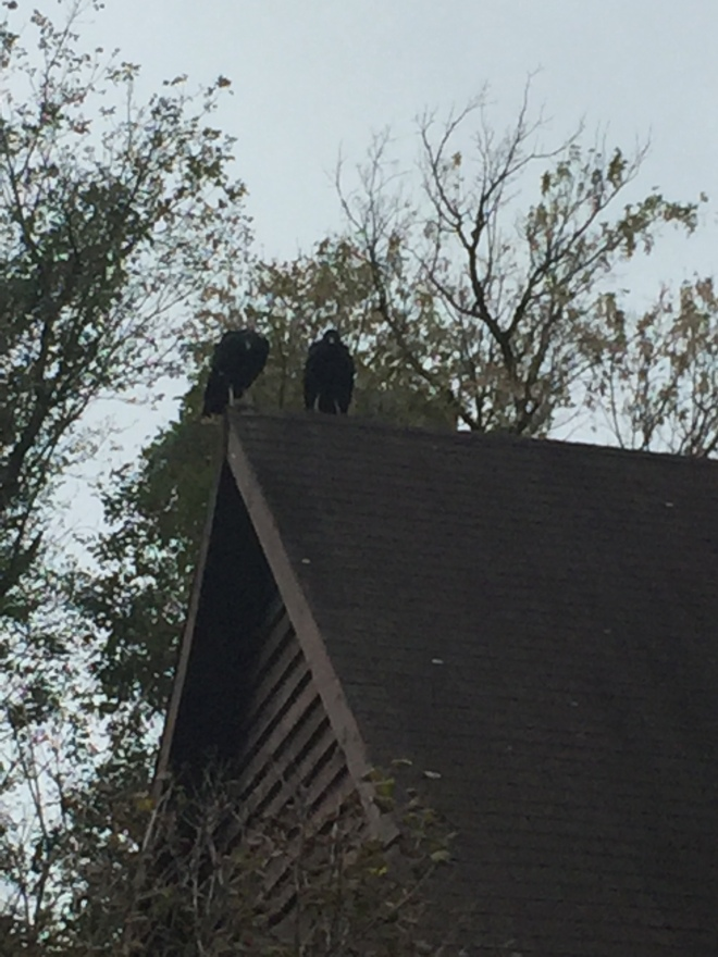 Nuptial Vultures